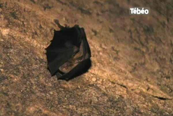 Le suivi des grands rhinolophes en Presqu'île de Crozon (29)