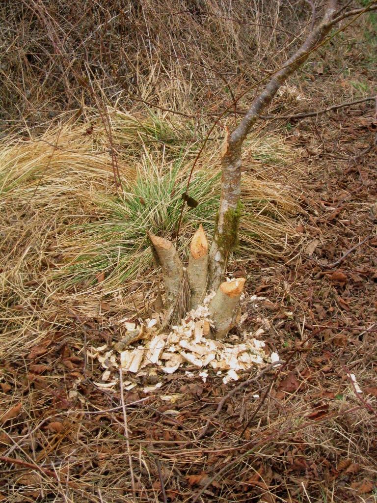 Coupes effectuées par un castor dans les Monts d'Arrée