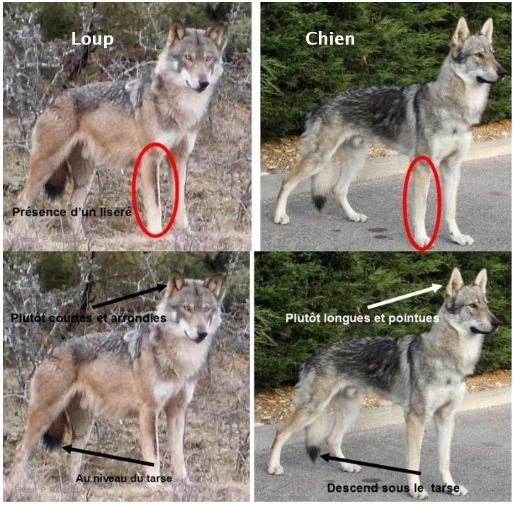Declarations Recentes D Une Presence Possible Du Loup En Bretagne L Avis Du Groupe Mammalogique Breton Gmb