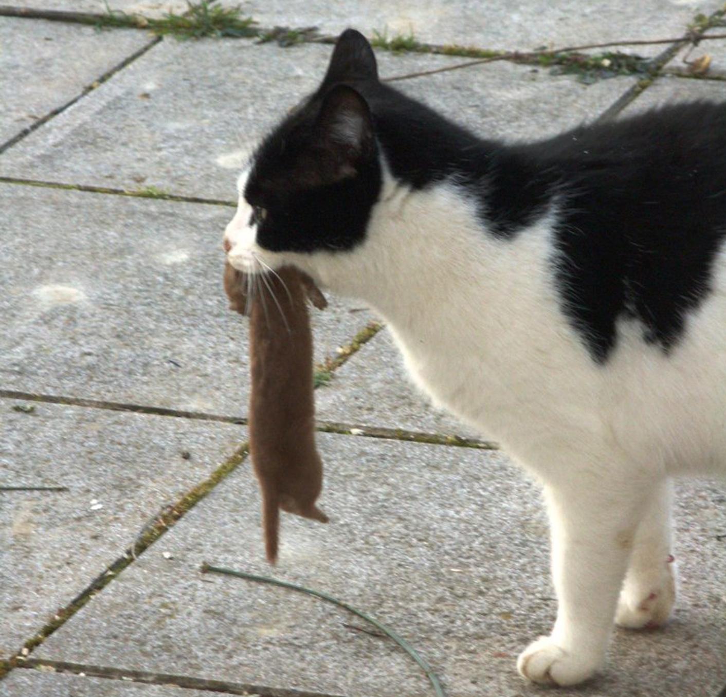 J Ai Une Souris Chez Moi le chat et son impact sur la faune | gmb